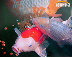 alimentaci n de las carpas koi piensos aquanovel