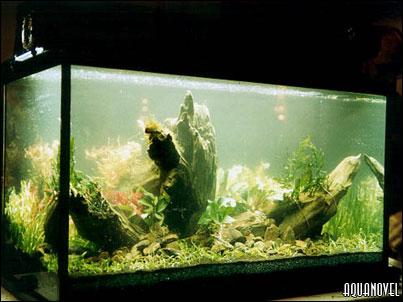Un mes más tarde se agregan los peces principales del acuario. Un cardumen de 100 tetras cardenales