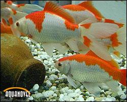 El comerta es una variedad muy recomendable para mantener en estanque