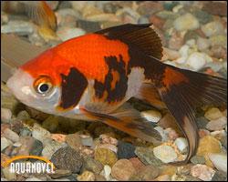 Debido al tamaño que alcanza de adulto, cerca de 30 centímetros, no resulta una especie indicada para acuarios pequeños o medianos.