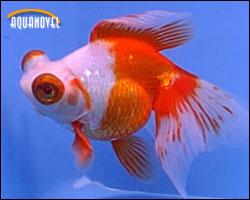 Telescopios gold fish de ojos saltones aquanovel for Peces goldfish tipos