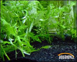 Para tener un acuario densamente plantado sin lugar a dudas deberemos recurrir al CO2