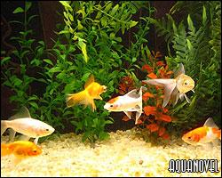 Acuario comunitario de Goldfish