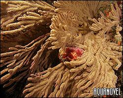Gorgonia Muricea californiana
