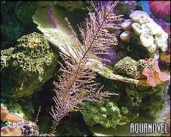 Gorgonia Pseudopterogorgia