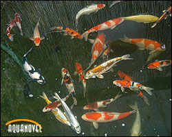 El koi cyprinus carpio carpa com n aquanovel for Carpas koi cuidados
