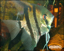 Agua dulce aquanovel part 9 for Pez escalar enfermedades