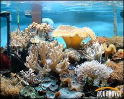 Decorando el acuario de arrecife