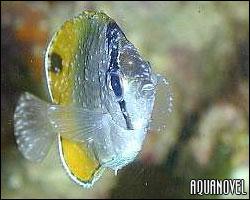 Una de las principales causas de mortandad entre los peces recién llegados a nuestro acuario es el punto blanco marino denominado Cryptocarion irritans.