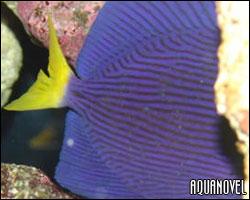 El Oodinium y el Crytpcarion o punto blanco marino son los ectoparásitos más comunes en los acuarios.
