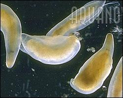 Detalle de las planarias marinas