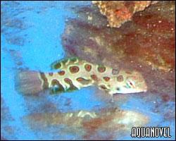Muestra de otra importación: Pterosynchiropus enflaquecido, enviado sin ningún tipo de control por el exportador. Este animal no ha comido desde el momento de la pesca.