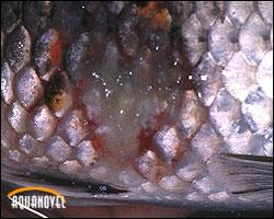 Los peces de agua fría son propensos a padecer Saprolegniasis