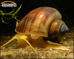 Pomacea bridgesii: (caracol manzana brasilero, misterio dorado o caracol marfil)