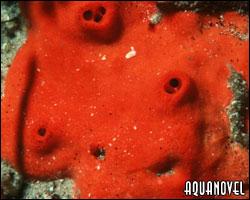 Acarnus erithacus