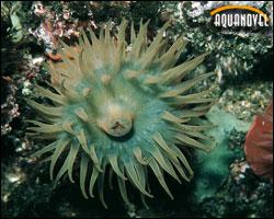 la Actinia cari que sería de una coloración más azulada e incluso verdosa