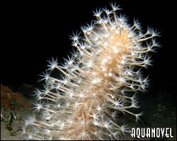 Cavernularia obesa, lápiz de mar