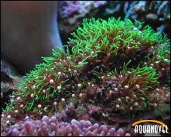 Clavularia viridis, pólipo de estrella