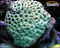 Coral Luna - Favia Sp