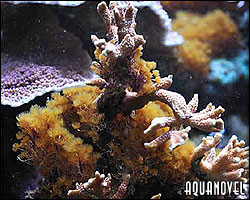 Las Myrionemas son capaces de acabar con un acuario de arrecife completo
