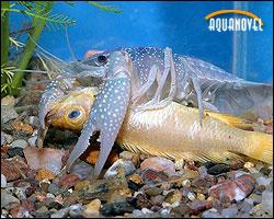 Procambarus clarki alimentándose de un cíclido fallecido