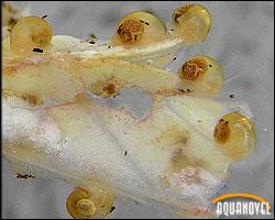 Caracoles eclosionados de Pomacea canaliculata