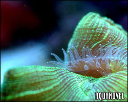 Trachyphyllia geoffroyi pólipos nocturnos