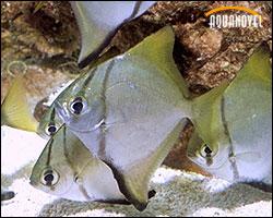 El alquimista de los acuarios ver tema escalar o pez for Pez escalar enfermedades