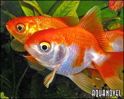 Reproducci n de peces de agua fr a carassius auratus for Alimentacion para peces de agua fria