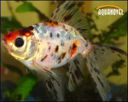 Gold fish cola de abanico o Fantail