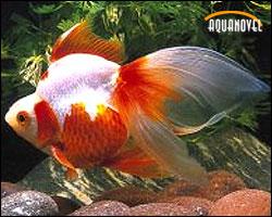 Las carpas los peces m s comunes para el acuario de agua for Los mejores peces de agua fria