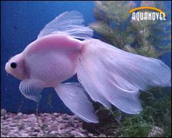 Goldfish variedades cola de velo y abanico aquanovel for Peces goldfish tipos