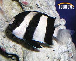 El juego de las palabras encadenadas-http://www.aquanovel.com/images/pecesmar/dascyllus.jpg
