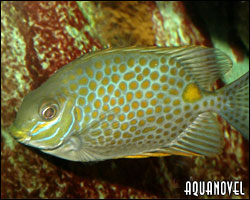 Siganus guttatus, pez conejo de mancha dorada