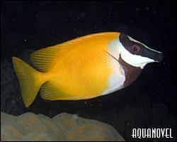 Siganus vulpinus, pez conejo, pez cara de zorro