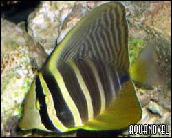 Zebrasoma veliferum juvenil