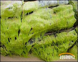 Algas asentadas sobre las rocas de una playa