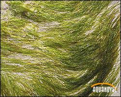 Algas de origen marino