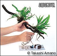 Los rizomas se aseguran en el tronco con la cuerda para atar las raíces.