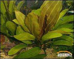 Género Echinodorus