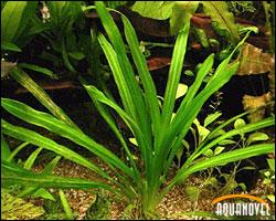 Echinodorus quadricostatus