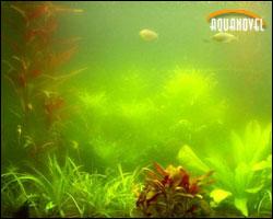Algas verdes (Clorofitas)