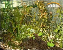 Las plantas acuáticas y la decoración del acuario
