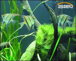 Grupo de escalares en un acuario plantado