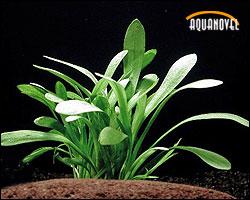 Sagitaria Subulata Subulata