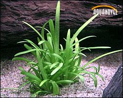 Sagitaria subulata